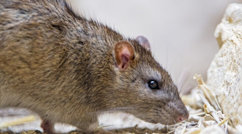 Lutter contre les rats dératisation