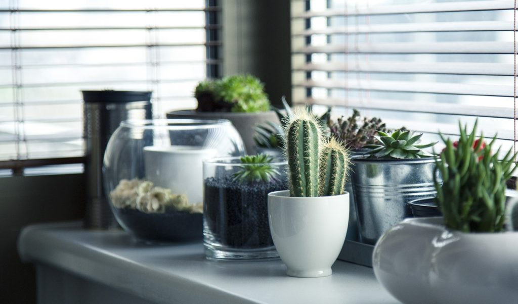 Plante cactus appartement