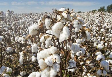 Le coton égyptien, le haut de gamme pour le linge de maison